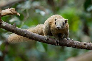 IMG_5070_-__Grey-bellied_Squirrel.jpg