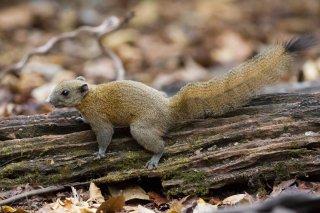 IMG_5135_-__Grey-bellied_Squirrel.jpg