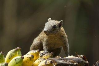 IMG_8018_-_Grey-bellied_Squirrel.jpg