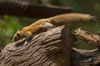 IMG_8042_-_Grey-bellied_Squirrel.jpg