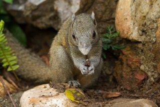 IMG_8129_-_Grey-bellied_Squirrel.jpg