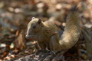 IMG_8616_-_Grey-bellied_Squirrel.jpg