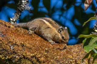 2M3A7646_-_Himalayan_Striped_Squirrel.jpg