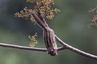 C16V3423_-_Himalayan_Striped_Squirrel.jpg