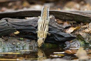 IMG_4760_-_Himalayan_Striped_Squirrel.jpg