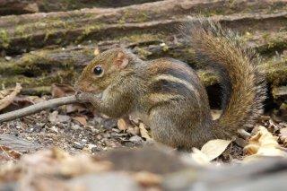 IMG_4787_-_Himalayan_Striped_Squirrel.jpg