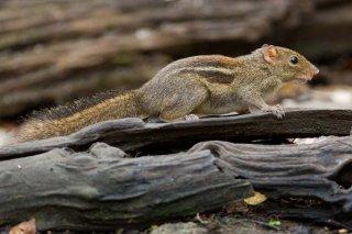 IMG_4806_-_Himalayan_Striped_Squirrel.jpg