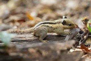 IMG_4815_-_Himalayan_Striped_Squirrel.jpg