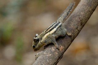 IMG_4943_-_Himalayan_Striped_Squirrel.jpg