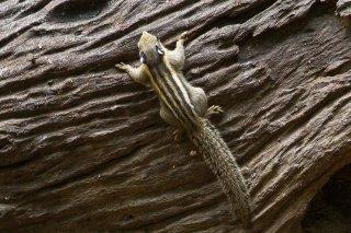 IMG_8037_-_Himalayan_Striped_Squirrel.jpg