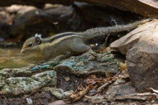 IMG_8608_-_Himalayan_Striped_Squirrel.jpg