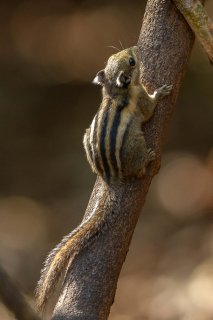 IMG_8775_-_Himalayan_Striped_Squirrel.jpg