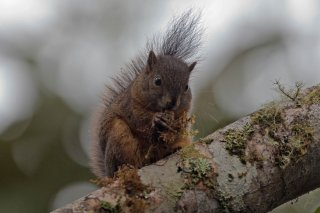 IMG_8152_-_North_Amazon_Red_Squirrel.jpg