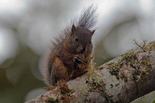 IMG_8152_-_North_Amazon_Red_Squirrel.jpg