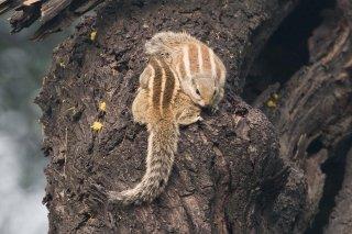 3T9P5936_-_Northern_Palm_Squirrel.jpg