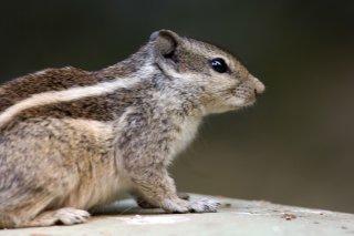 IMG_1064_-_Northern_Palm_Squirrel.jpg