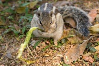 IMG_1105_-_Northern_Palm_Squirrel.jpg
