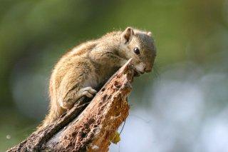 IMG_6205_-_Northern_Palm_Squirrel.jpg
