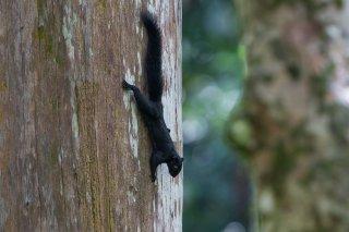 C16V5435_-_Prevosts_Squirrel-h.jpg