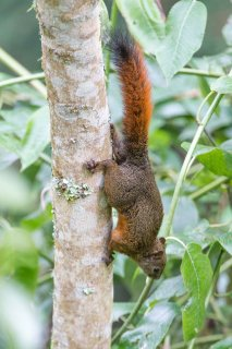 C16V8091_-_Red-tailed_Squirrel.jpg