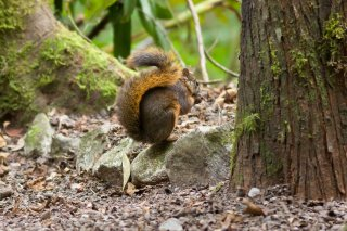 IMG_2025_-_Red-tailed_Squirrel.jpg