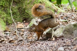 IMG_2028_-_Red-tailed_Squirrel.jpg