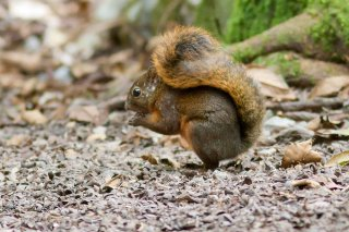 IMG_2030_-_Red-tailed_Squirrel.jpg