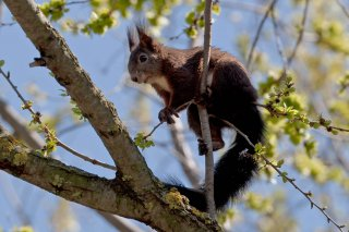 3T9P8277_-_Red_Squirrel.jpg