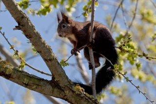 3T9P8277_-_Red_Squirrel.jpg