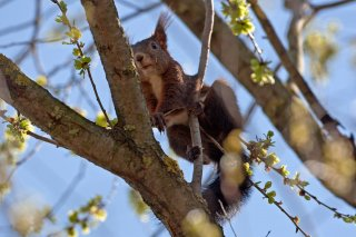 3T9P8283_-_Red_Squirrel.jpg