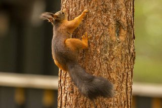 IMG_0151_-_Red_Squirrel.jpg