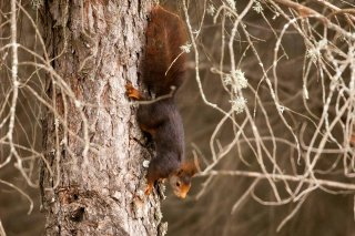 IMG_8413_-_Red_Squirrel.jpg