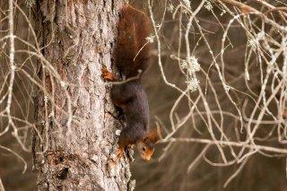 IMG_8413_-_Red_Squirrel.jpg