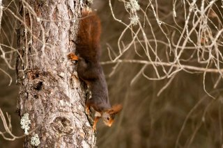 IMG_8417_-_Red_Squirrel.jpg