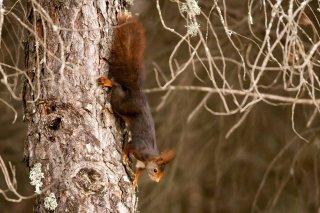 IMG_8417_-_Red_Squirrel.jpg