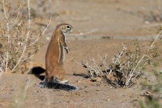 C16V0605_-_Striped_Ground_Squirrel.jpg