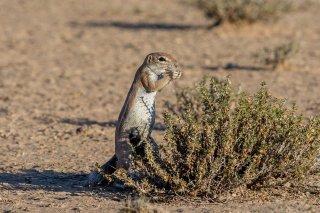 C16V9432_-_Striped_Ground_Squirrel.jpg