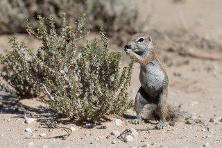C16V9804_-_Striped_Ground_Squirrel.jpg