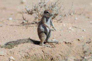C16V9812_-_Striped_Striped_Ground_Squirrel.jpg