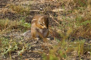 IMG_3371_-_Striped_Ground_Squirrel.jpg