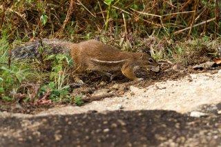 IMG_3382_-_Striped_Ground_Squirrel.jpg