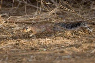3T9P5494_-_Unstriped_Ground_Squirrel.jpg