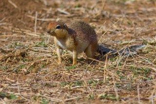 IMG_7727_-_Unstriped_Ground_Squirrel.jpg