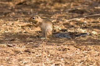 IMG_7884_-_Unstriped_Ground_Squirrel.jpg