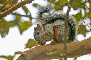 IMG_3027_-_Variegated_Squirrel.jpg