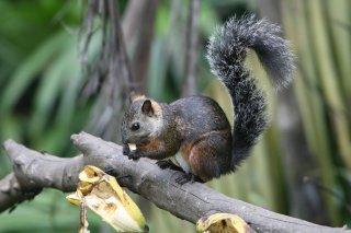 IMG_4196_-_VariegatedSquirrel.jpg