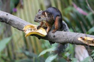 IMG_4299_-_Variegated_Squirrel.jpg