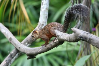 IMG_4301_-_VariegatedSquirrel.jpg