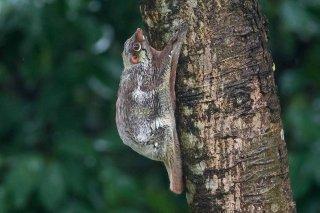 C16V1671_-_Sunda_Flying_Lemur.jpg