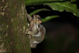 C16V2366_-_Sunda_Flying_Lemur.jpg